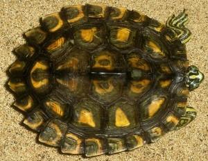 La tartaruga che ritira le membra nel guscio illustra il significato di Pratyahara