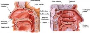 Fosse nasali sezione sagittale-mediale e sezione sagittale-laterale