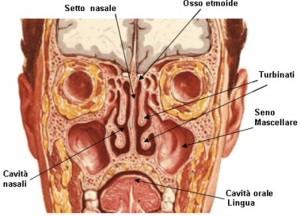 Fosse nasali sezione frontale