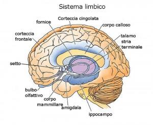 il cervello olfattivo e il sistema limbico